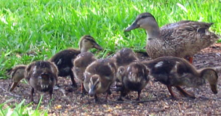 seven_ducks_2.jpg