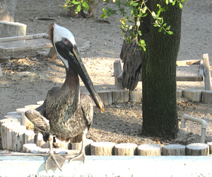 Adult brown pelican