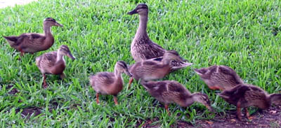 ducklings_mama.jpg