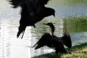pigeon_attack.jpg
