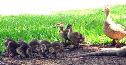 seven_ducks.jpg