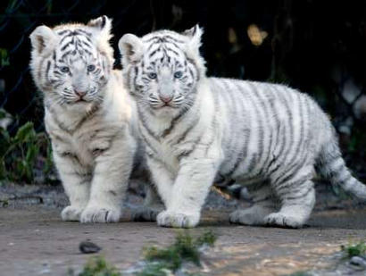 whitetigers.jpg